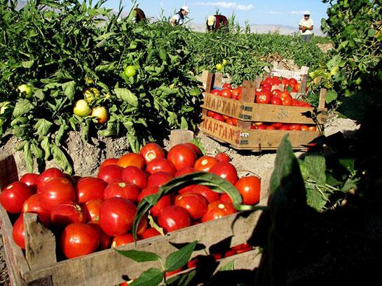 domates tarlasi ile ilgili görsel sonucu